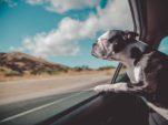 Cómo garantizar el bienestar de los perros durante los viajes en coche